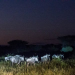 Gnus / Blue Wildebeest