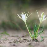 Trichternarzisse (Pancratium tenuifolium)