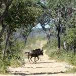 Gnu / Blue Wildebeest