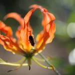 Feuerlilie (Gloriosa superba)