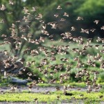 Blutschnabelweber / Red-billed quelea