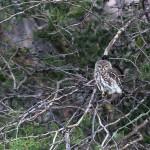 Perlkauz / Pearl-spotted owlet