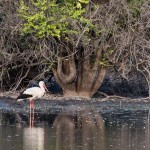Weißstorch / White Stork