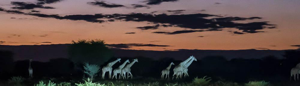 giraffen_2